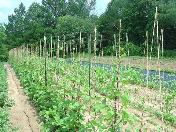 Trellis For Green Beans Simple Trellis For Green Beans